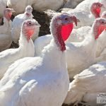 A Local Thanksgiving: Purchasing a Turkey or the Whole Meal